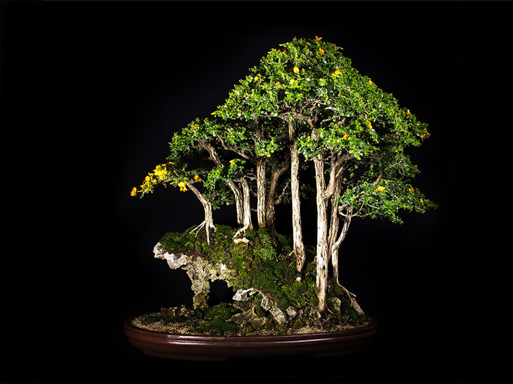 bonsai on the frog rock