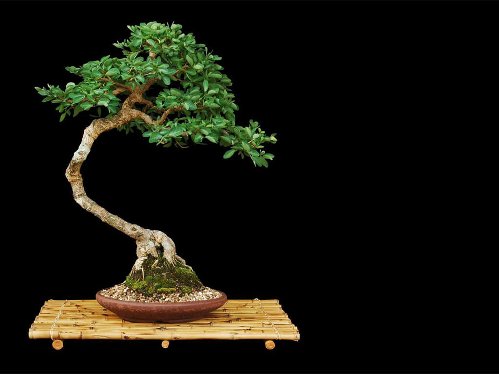bonsai on the side